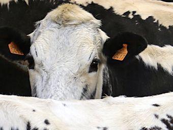 Le fromage au secours de la Vosgienne