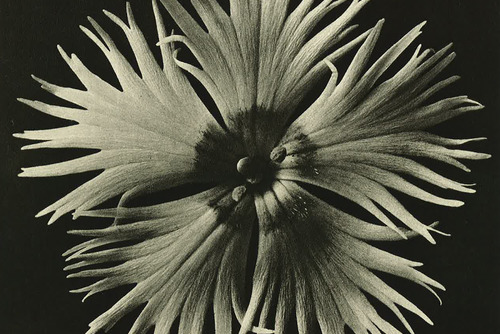 Photograph of Dahlia by artist, Karl Blossfeldt
